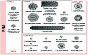 RNA V