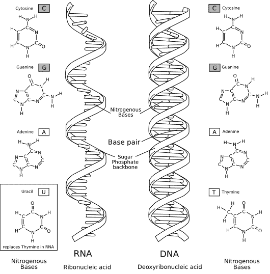 Dna vs rna sanjays blog dna is found in the nucleus of a cell nuclear dna and in mitochondria mitochondrial dna it has two nucleotide strands which consist of its phosphate malvernweather Image collections