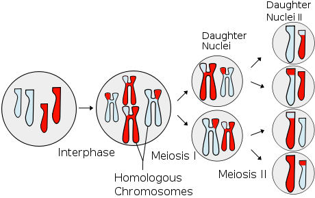 460px-Meiosis_Overview.svg.png